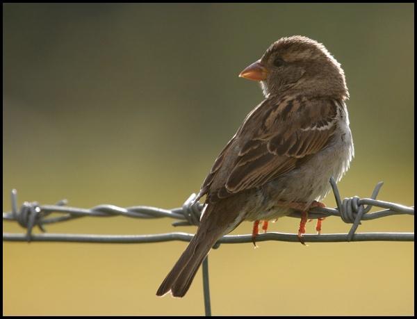 Sparrow by GrahamDixon