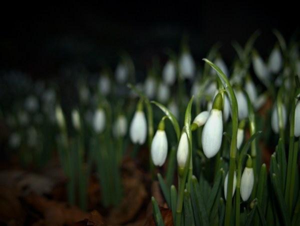 snowdrops by davidreece