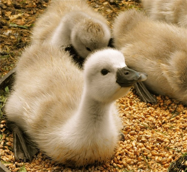 Baby swans are actually called cygnets, i never knew that :o by PhotographicHuman