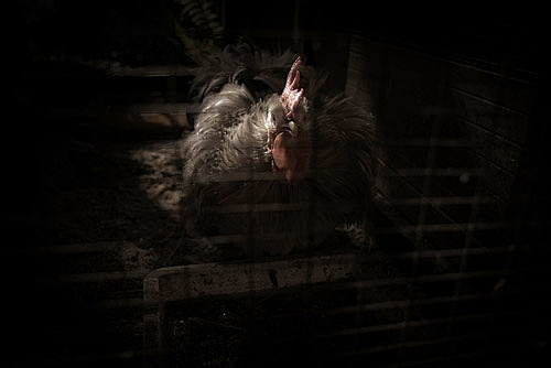 The Chook a Portrait by tim_harris