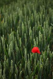 lone poppy