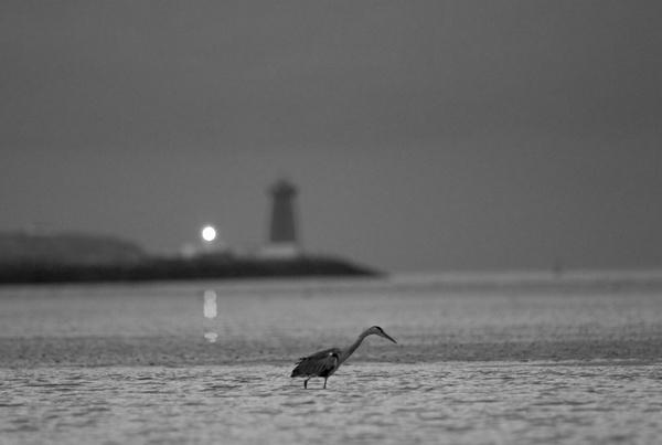 Heron by moonlight by neil john