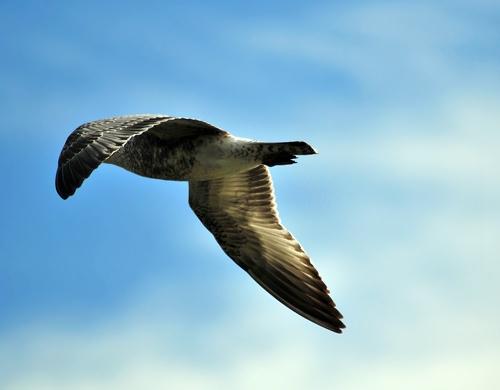 Bashful Gull by kevster