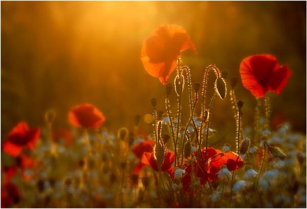 Poppy Glow by MikeH