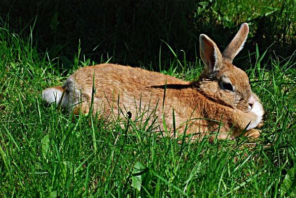 Rabbit by AlistairJ