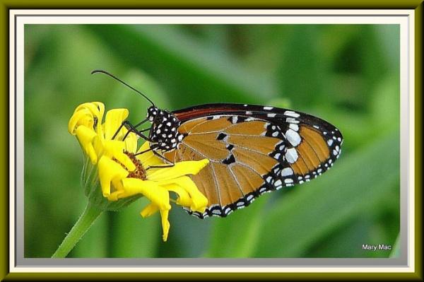 Monarch On Yellow by MaryMac