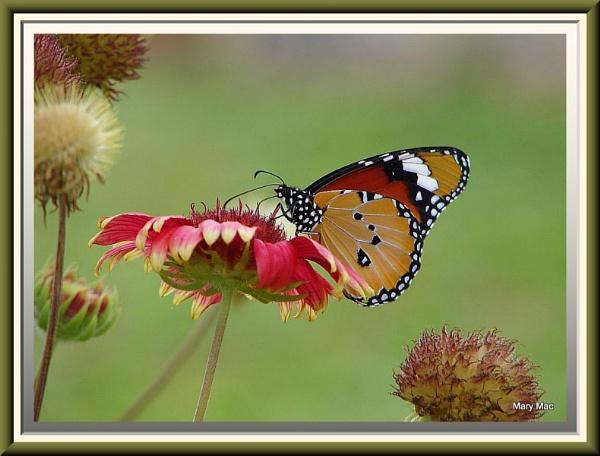 Monarch on Red by MaryMac