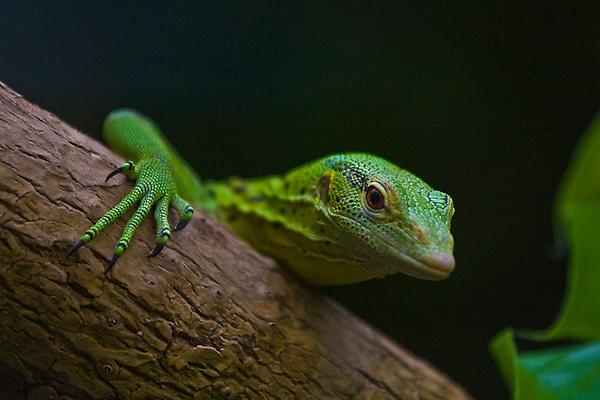 Green Tree Monitor Lizard by mjstead