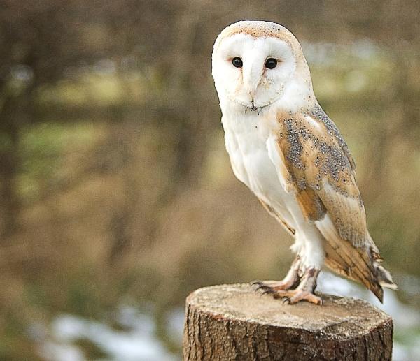 Owl by troberts