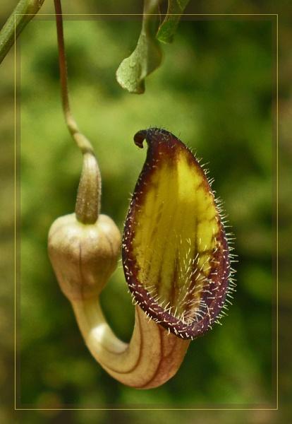 aristolochia sempervirens by CarolG