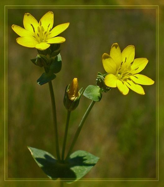 blackstonia perfoliata by CarolG