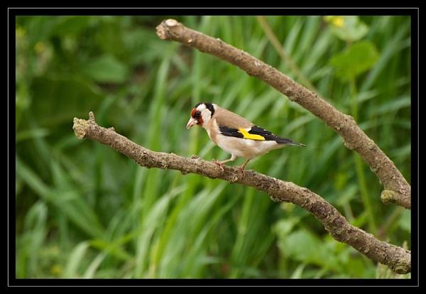 Goldfinch by GaryR