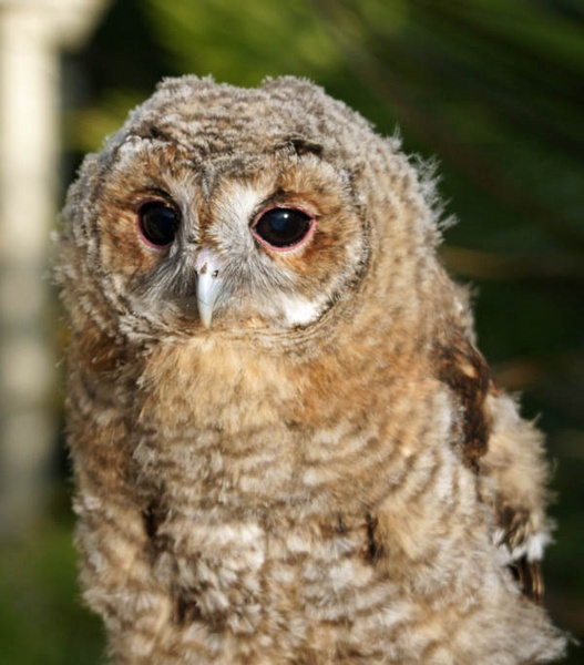 Young Tawny Owl by BeckC