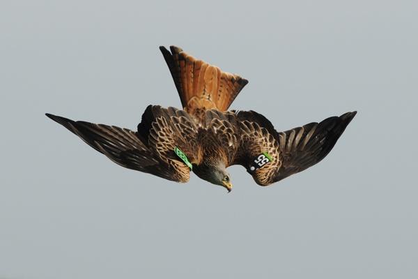 Diving Kite by alastairwilson