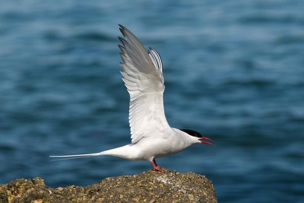 Arctic tern by alastairwilson