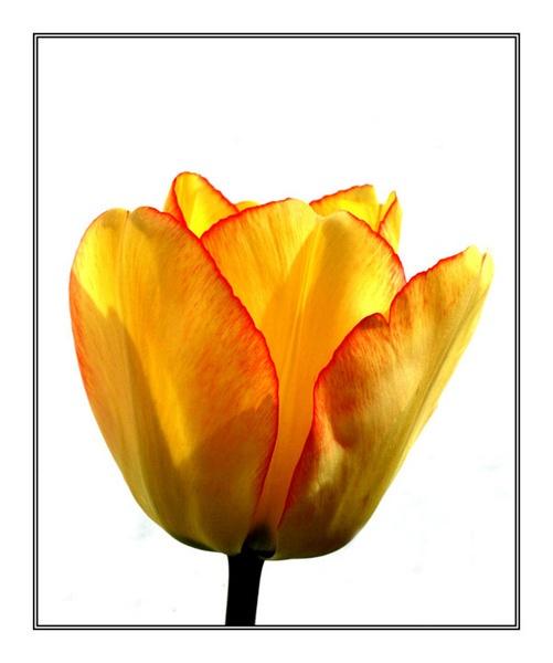 Tulip by clo99