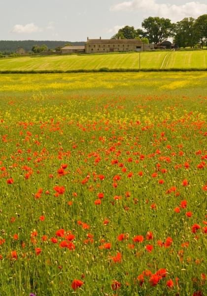 Poppy Field by mikeyjuggler