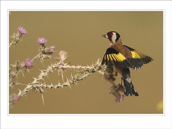 Goldfinch by DannyVokins