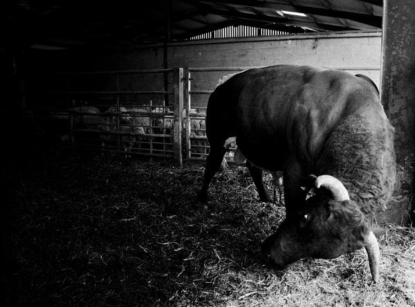 Bull by JBA