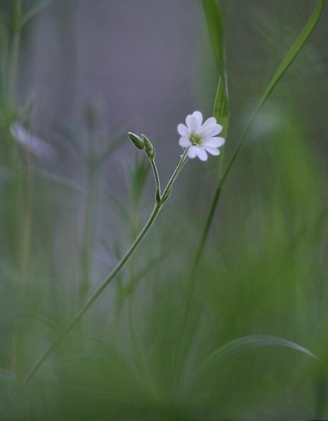 Greater Stitchwort by maratsuikka