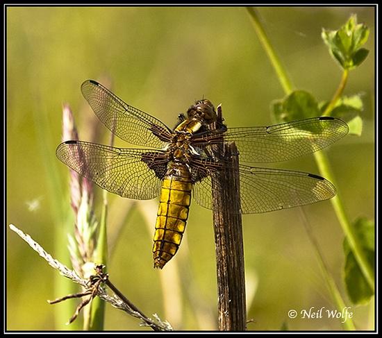 Dragonfly by lobo_blanco