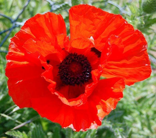 Poppy by Rachel99
