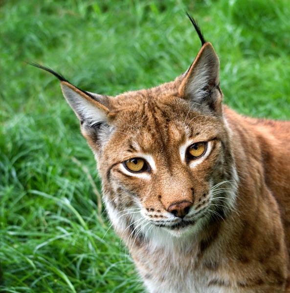 Petra the Lynx by baclark
