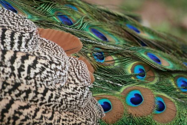 Peacock colour by cyman1964uk
