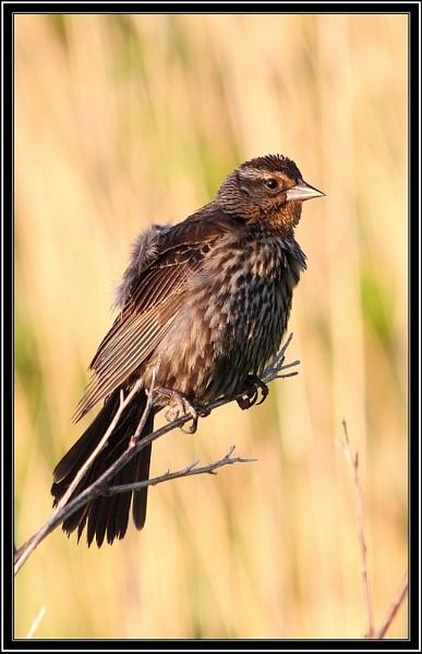 Sparrow by Kloid