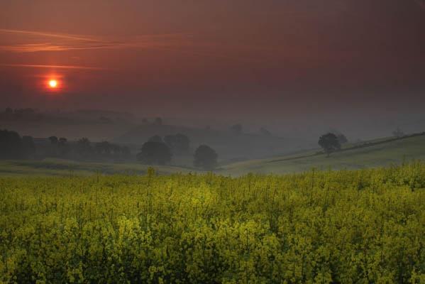 Rape Field Dawn