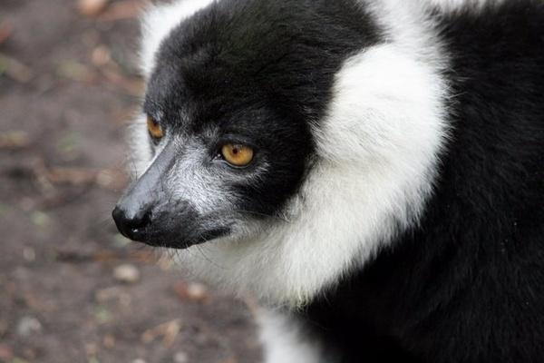 Lemur by block119er