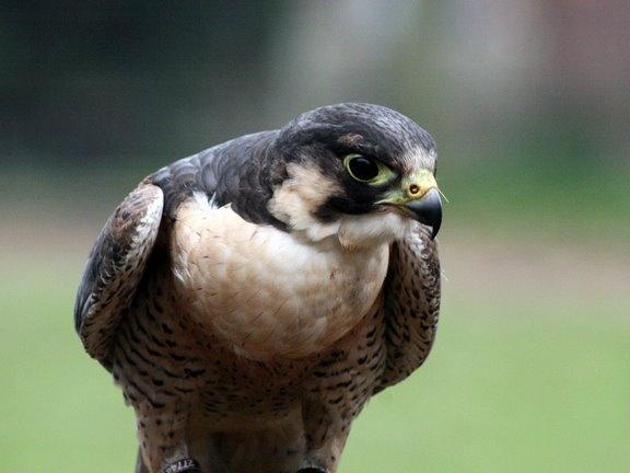 Hawk Eye by block119er