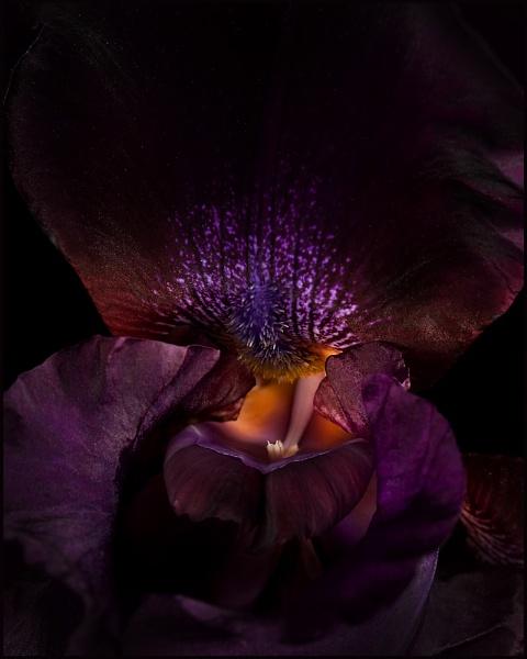 Bearded Iris by banehawi