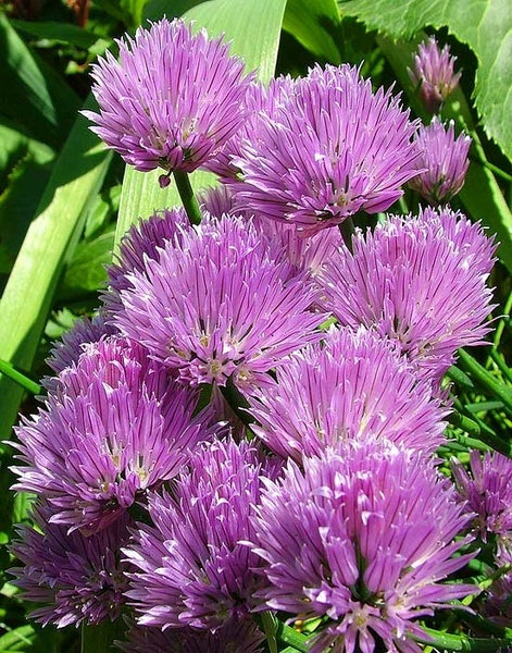 Chives by panda