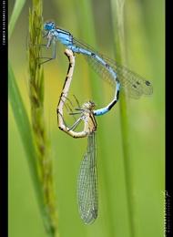 Common Blue Loveheart