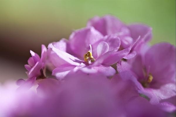 Pink African Violet 1 by JohanGrobbelaar