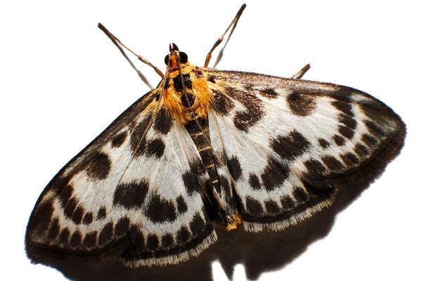 Macro moth by sheamist