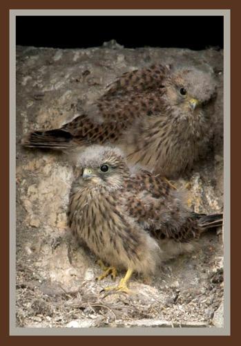 Two  Kestrel Chicks by Dorothea