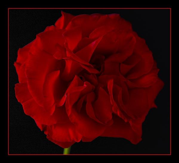 Red Rose by trickydicky