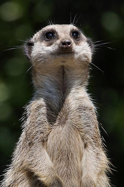 Meerkat.com by mjstead