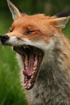 Fox yawning by Muppet