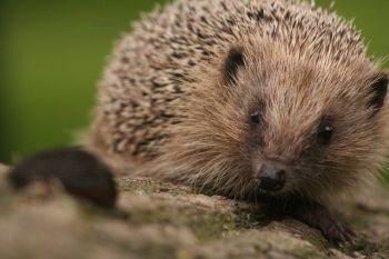 Hedgehog eyeing up a slug by Muppet