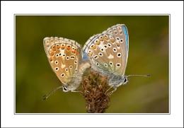 Mating Blues