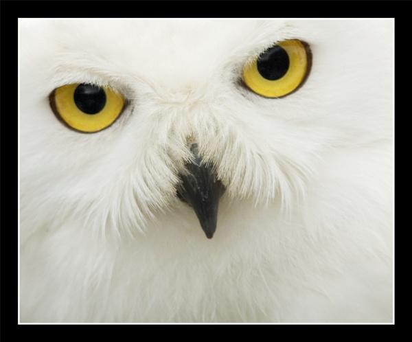 Snowy Owl by troberts
