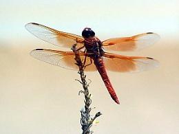 Dragonfly #1