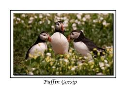 Puffin Gossip