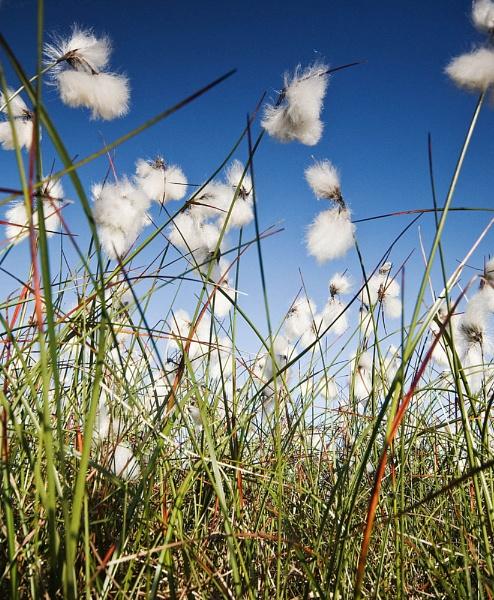 Cotton grass by tezmarsden