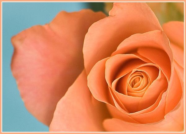 Rose by Stuart463