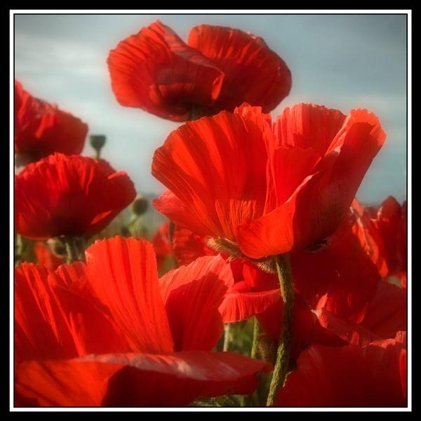 Seaside Poppies by WilliamRoar