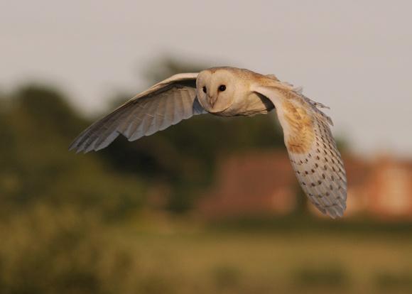 Barn owl hunting by chrissharp